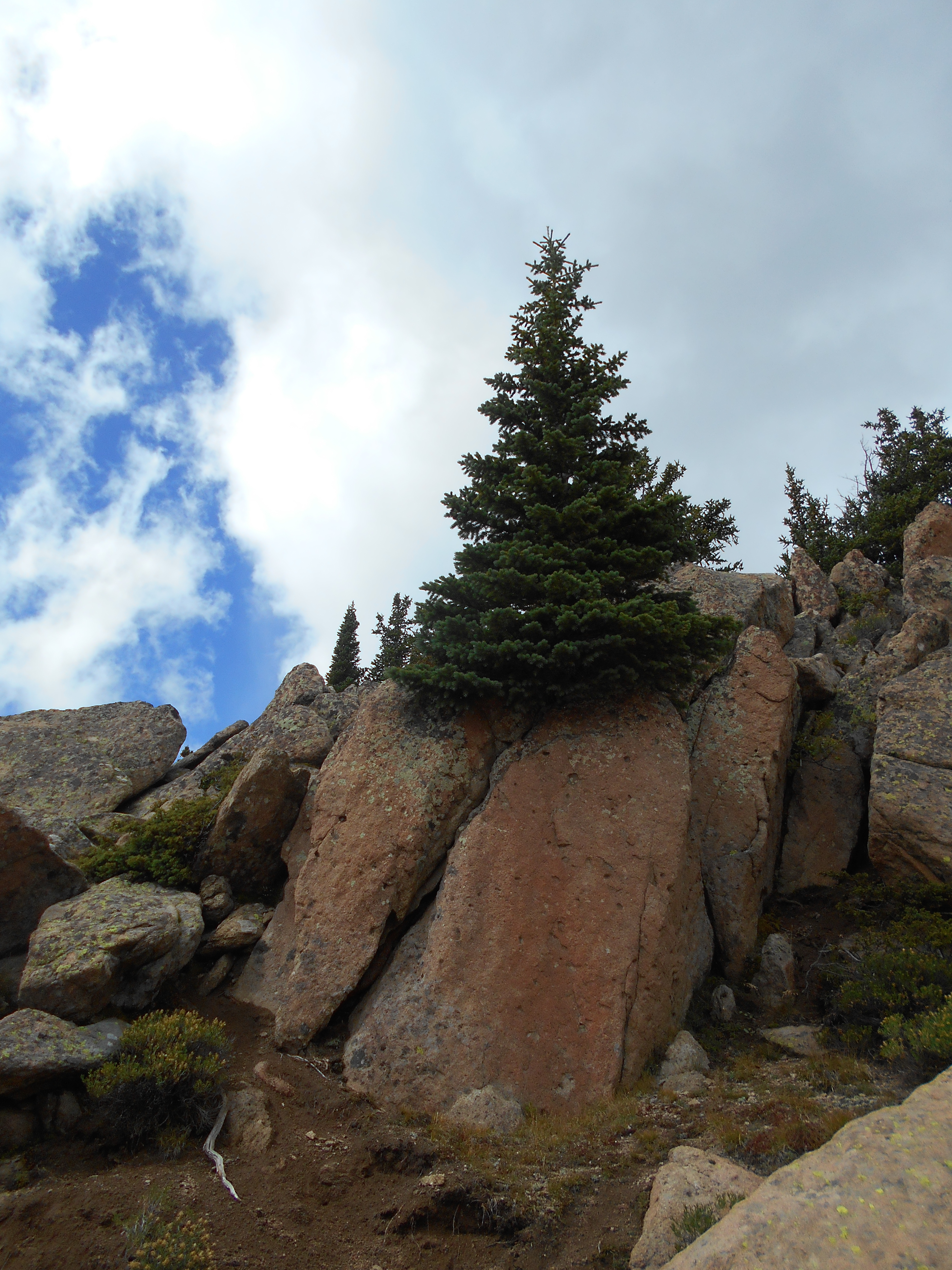 A tree grows in stone on Mount Crested Butte
